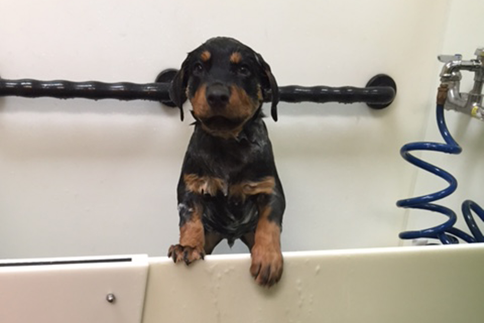 Rottweiler, Spartanburg, South Carolina, Greenville, Dog, Cat, Pets, 4 Paws, Dog Boarding, Cat Boarding, Dog Grooming, Cat Grooming, Doggy Day Care, Dog Treats, Dog Food, Dog Supplies, Dog Bath, Pet Supplies Pet Food